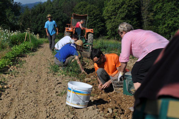 Die Genossenschafter ernten Kartoffeln auf dem Geisshof