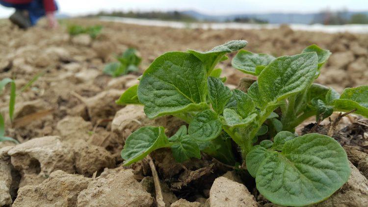 Eine Kartoffelpflanze auf dem Acker vom Geisshof